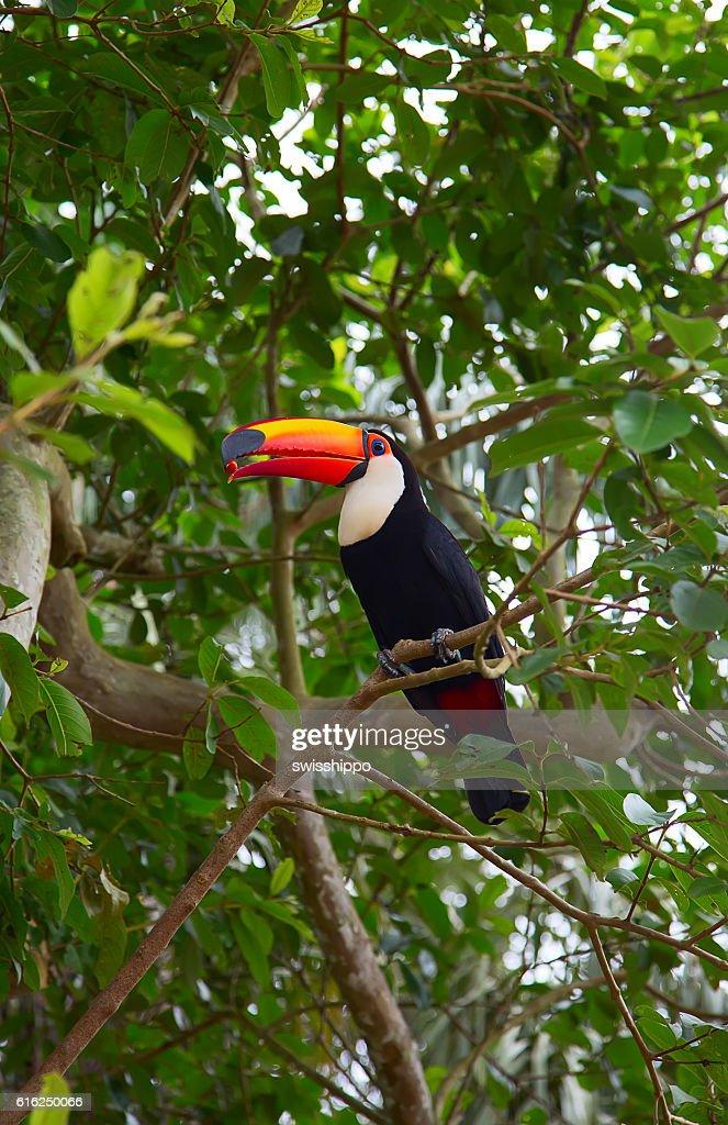 Colorido tucan  : Foto de stock