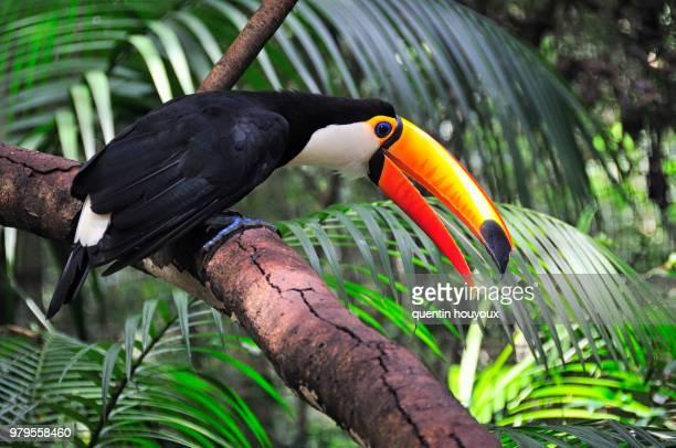 colorful tucan - paraguay fotografías e imágenes de stock
