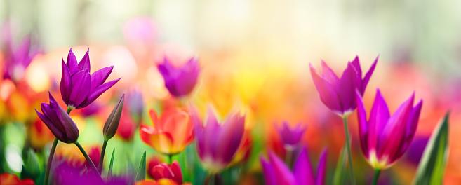 Colorful Tulip Field 891978974