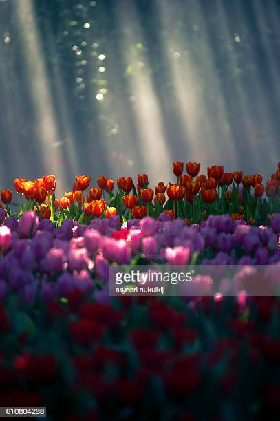 Colorful tulip field with sunbeam.