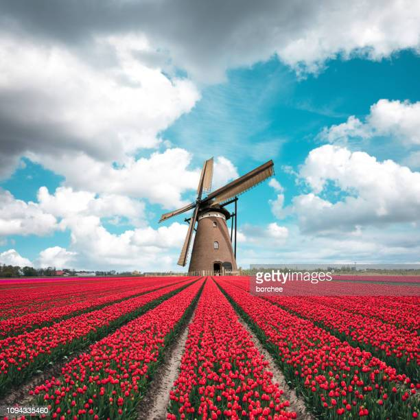 colorful tulip field with traditional dutch windmill - tulipano foto e immagini stock