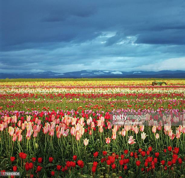 Colorful Tulip Fields Under Stormy Skies