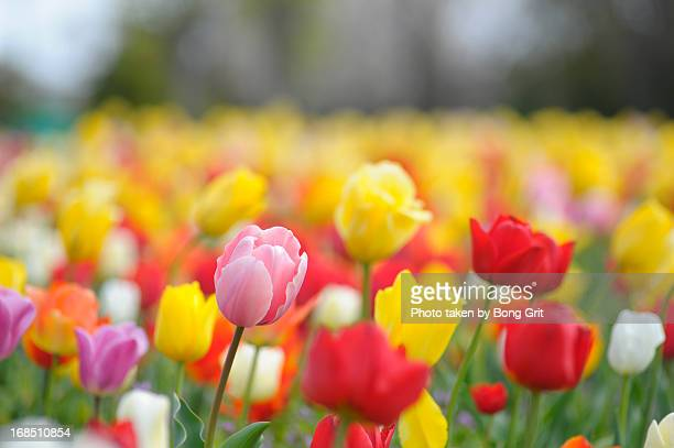 Colorful tulip