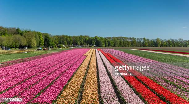 colorful tulips along canal noordoostpolder holland