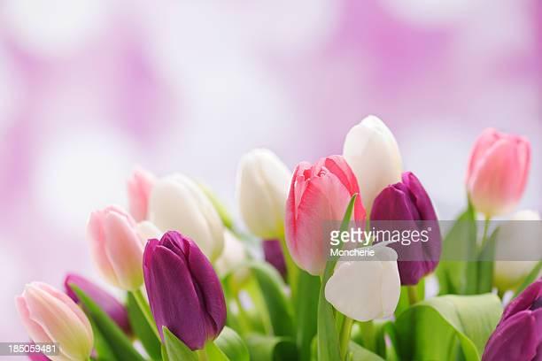 Colorful tulips on illuminated background