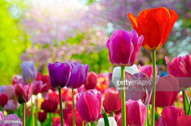 colorful tulips - keukenhof gardens stock pictures, royalty-free photos & images