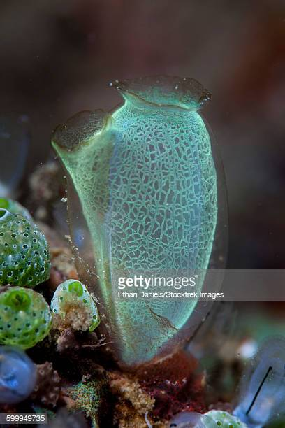 A colorful tunicate grows on a reef in Lembeh Strait, Indonesia. This is a filter-feeding organism.