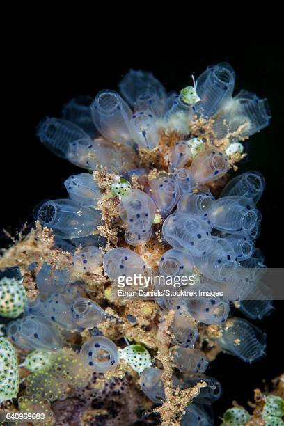 Colorful tunicates grow on a reef in Indonesia.