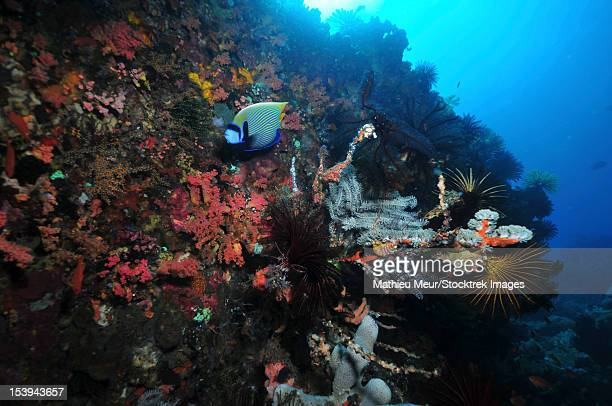 Colorful underwater wall with red soft coral, grey sponges and emperor angelfish, Komodo, Indonesia.