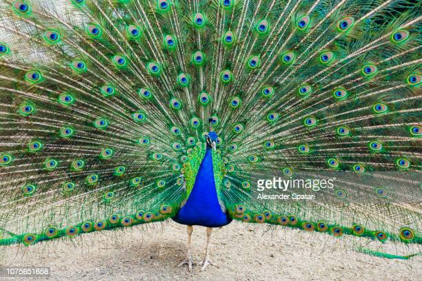 Colorful vibrant peacock with feathers fanned out