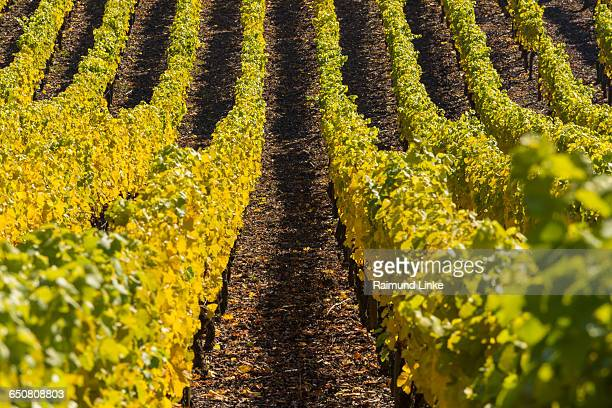 Colorful Vineyards in Autumn