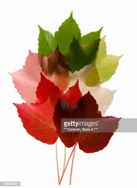 colorful virginia creeper leaves - grape leaf stock pictures, royalty-free photos & images