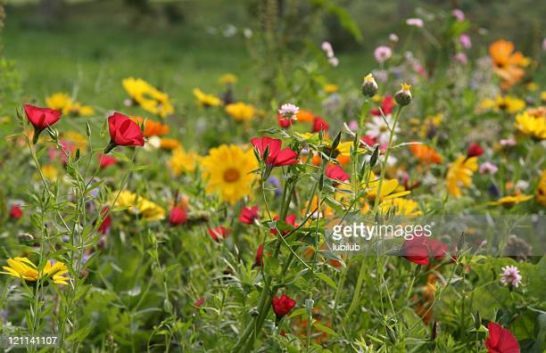 Colorful wildflowers of Cornflower, borage, poppy, marigold, and  red flax