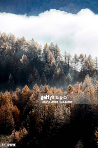 Colorful woods of autumn Sils Switzerland