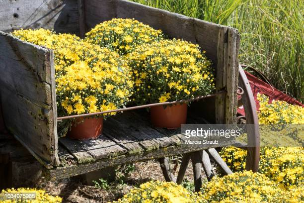 colorful yellow chrysanthemums in an old cart autumn - chrysanthemum stock pictures, royalty-free photos & images