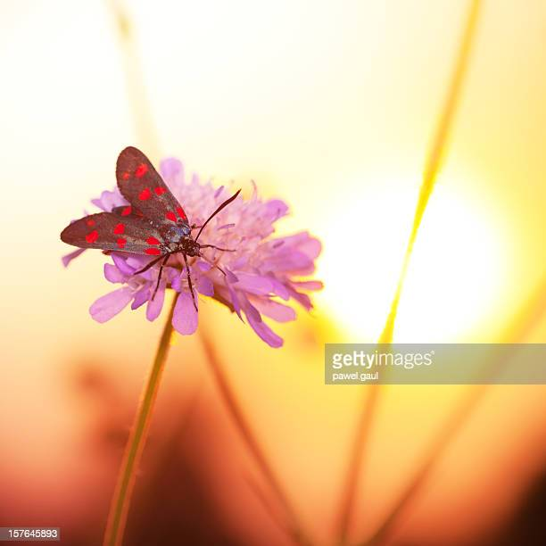 colorful zygaenidae moth on wildflower during sunset - sunset moth stock photos and pictures