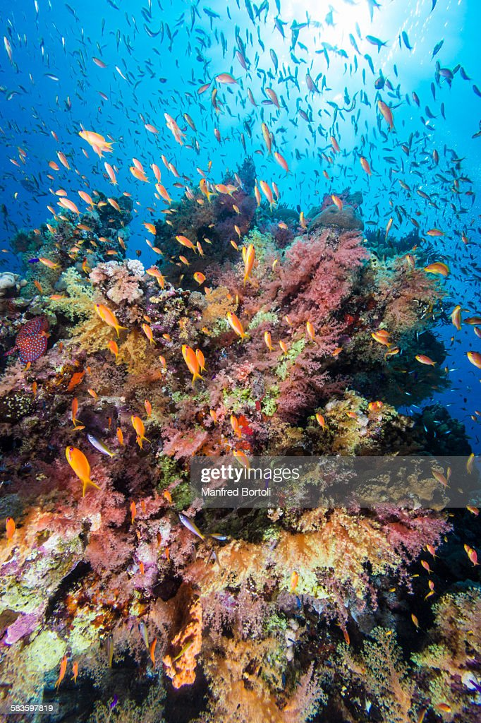 Colorfull reef and red fish anthias squamipinnis : Stock Photo