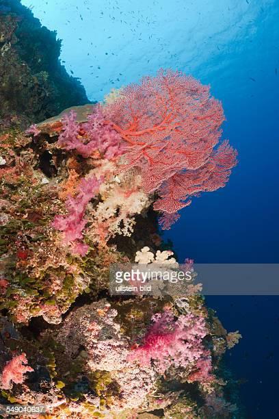 Colorfully Coral Reef, Peleliu Wall, Micronesia, Palau