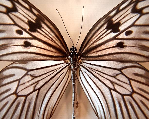 Colorless butterfly