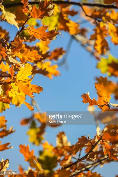 Colors changing in oak tree autumn
