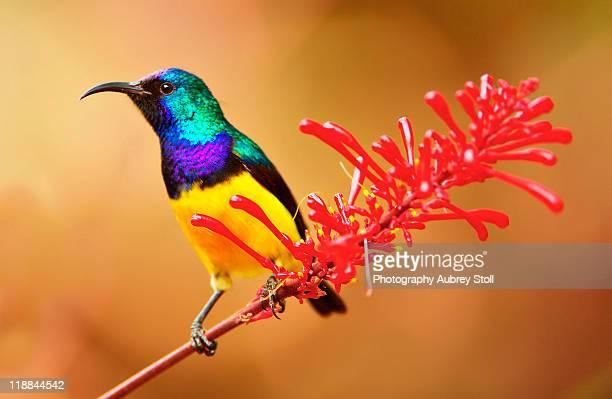 Colors of sunbird