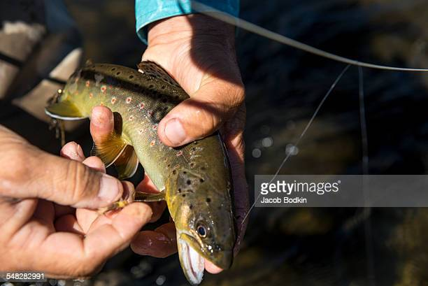 colors of the brook trout - speckled trout stock photos and pictures