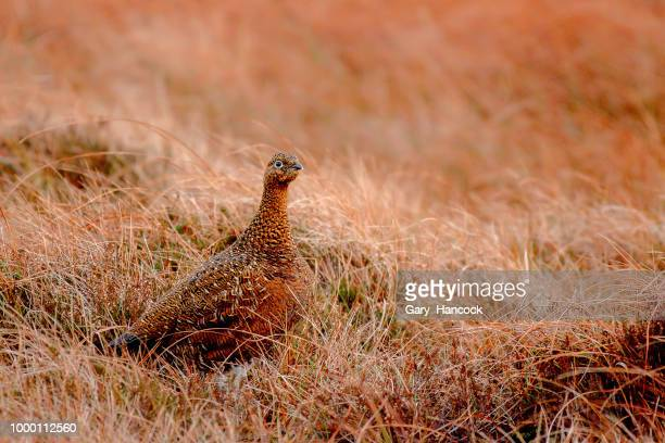 Color's of the Grouse.