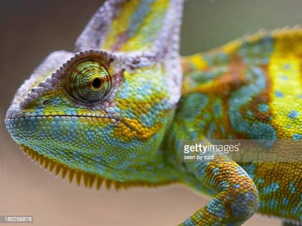 coloured cameleon