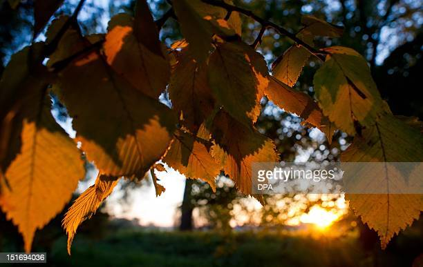 Coloured leaves of an Elm tree forecast the arrival of autumn near Lebus eastern Germany on September 10 2012 AFP PHOTO / PATRICK PLEUL GERMANY OUT