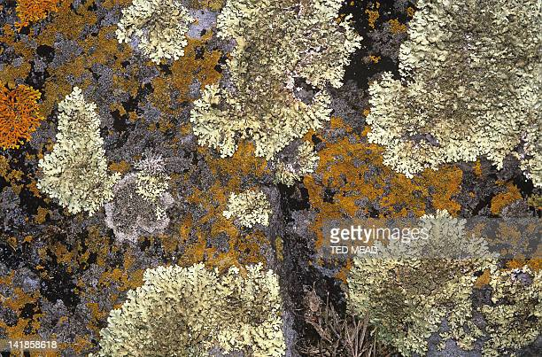 Coloured lichens growing on rock in the Tasman National Park, Tasmania, Australia.