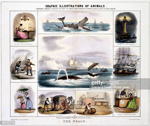 Coloured lithographic plate showing the whale from 'Graphic Illustrations of Animals Showing Their Utility to Man in Their Employment During Life and...