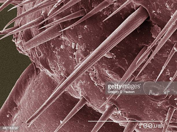 Coloured SEM of American cockroach cercus