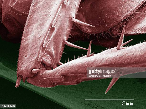 Coloured SEM of American cockroach leg