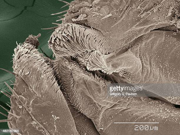 Coloured SEM of American cockroach mouthparts