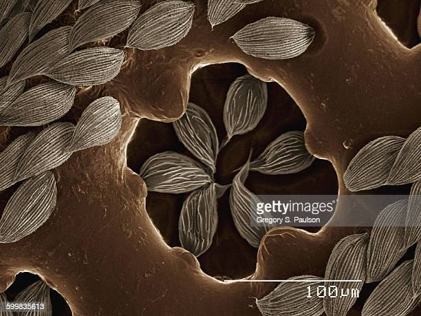 Coloured SEM of antenna of beetle (Cupedidae)