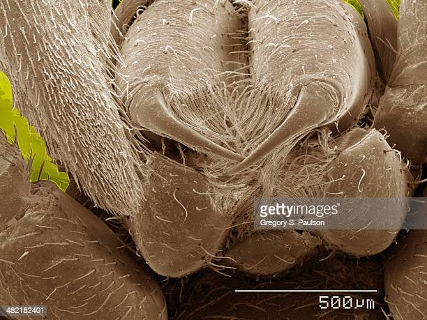Coloured SEM of fangs of spider