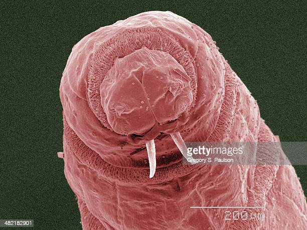coloured sem of fly maggot mouthparts - maggot stock photos and pictures