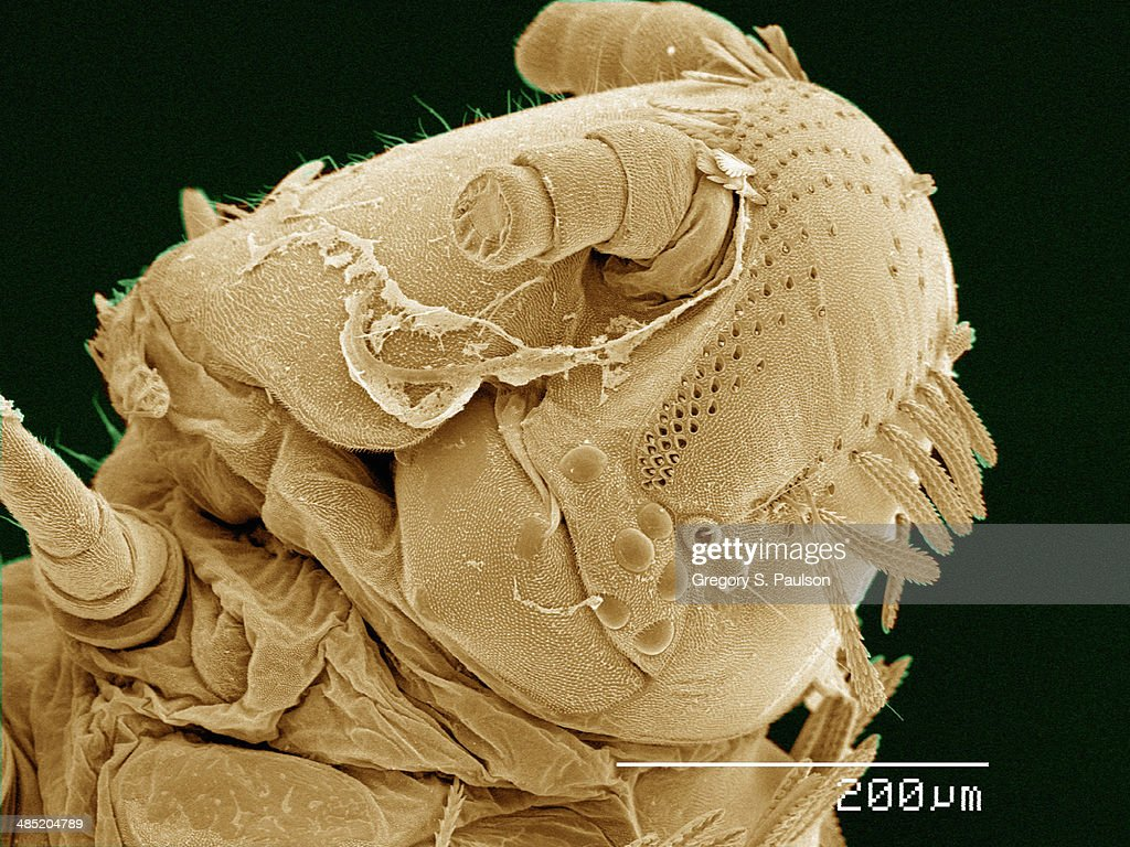 Coloured SEM of head of Polyxenus millipede : Stock Photo