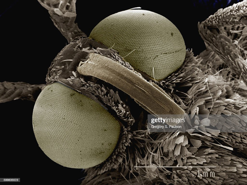 Coloured SEM of head of small moth (Geometridae) : Stock Photo