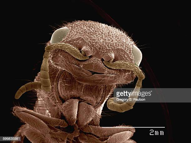 Coloured SEM of head of velvet ant (Mutilidae)