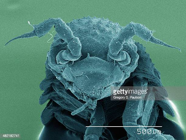 Coloured SEM of isopod, front view
