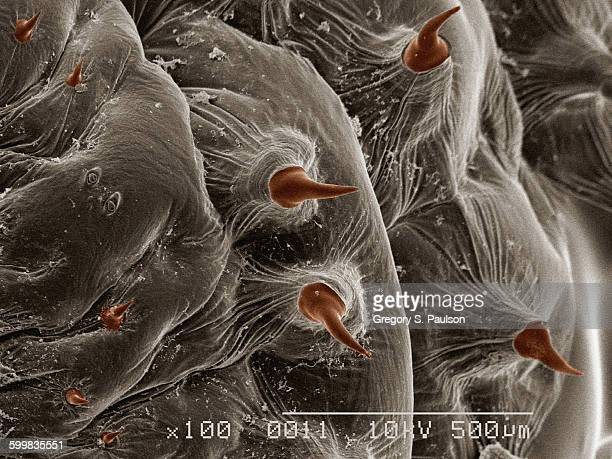 coloured sem of larva of human bot fly (hematobia irritans) - bot fly stock photos and pictures