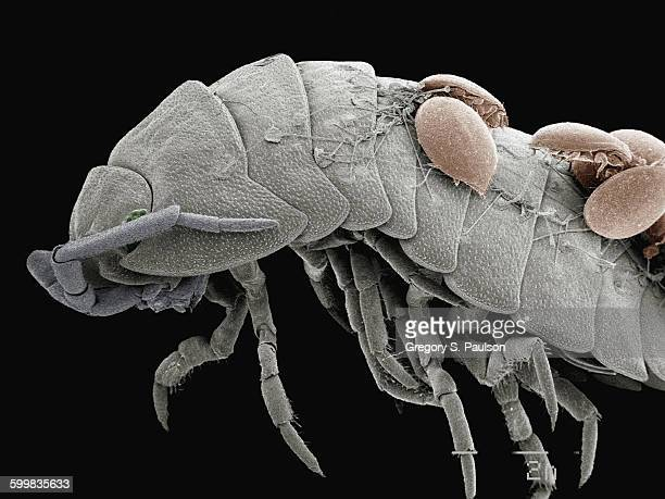 coloured sem of mites on back of pillbug - potato bug stock pictures, royalty-free photos & images