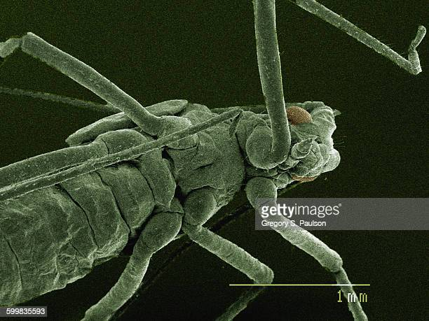 Coloured SEM of mouthparts of aphid
