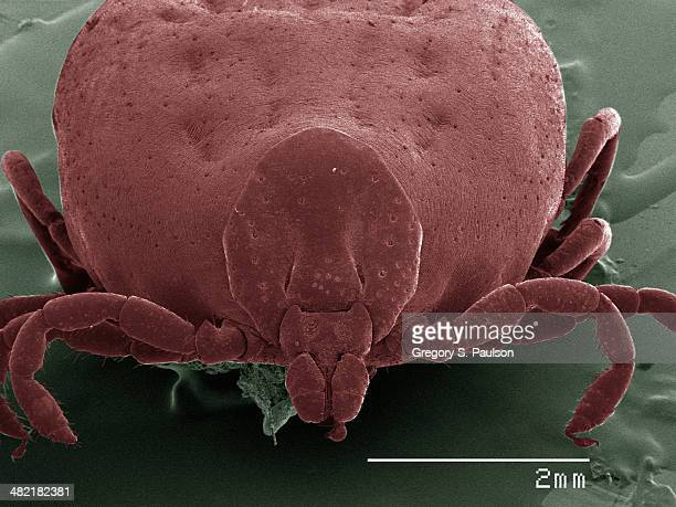 Coloured SEM of tick, front view