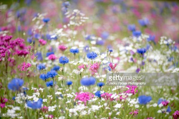 a colourful and bright summer flower meadow in soft sunshine. - meadow stock photos and pictures