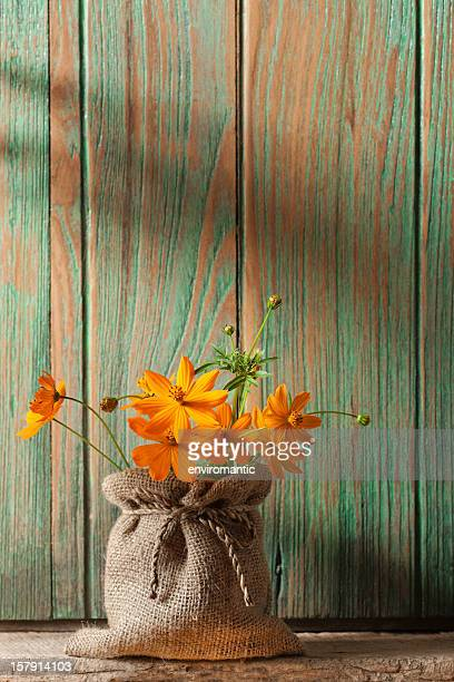 Colourful Cosmos flowers in front of an old window shutter.