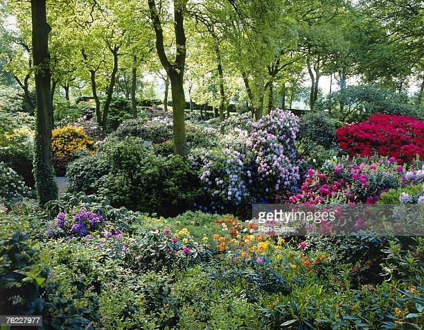 colourful display of rhododendrons growing and flowering under canopy of deciduous trees, dorothy clive garden, june