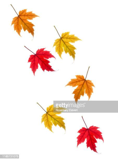 colourful drifting autumnal maple leaves on white. - white background stock pictures, royalty-free photos & images