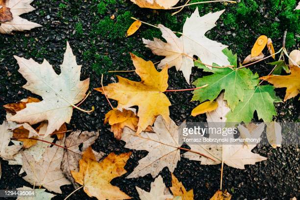 colourful fall leaves on asphalt road - tarmac stock pictures, royalty-free photos & images
